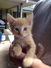 Kittens Thornton Maitland Area Preview