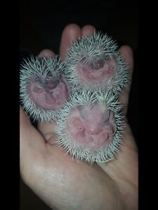 Sweet baby hedgehogs ready in time for Christmas!