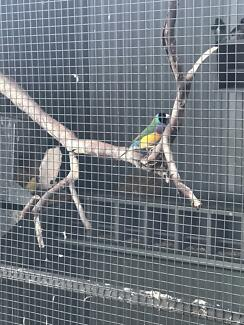 Aviary bred Gouldian finches & ruddy finches