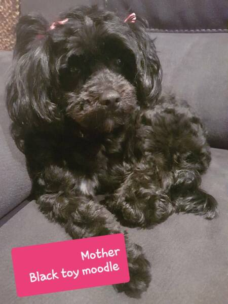 Toy Moodle Puppies | Dogs & Puppies | Gumtree Australia Lake