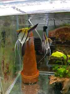 Pure F1 zebra angelfish Kew Boroondara Area Preview