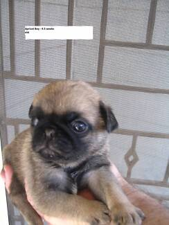 1 BEAUTIFUL BLACK AND 1 APRICOT PUG PUPS -FROM $2800each