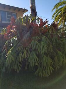 Large Staghorn fern removal and sale