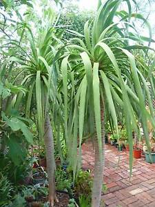 Dragon trees both over 2m with trunks over 1.2m tall -$470ea Subiaco Subiaco Area Preview