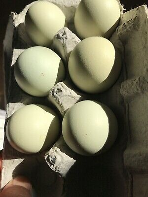 12 Easter Egger Hatching Eggs Fertile Chicken Eggs Fast Shipping
