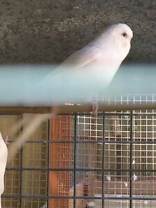 Lost white budgies in gosnells Gosnells Gosnells Area Preview