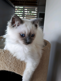 PEDIGREE RAGDOLL KITTEN FROM A REGISTERED BREEDER WITH ANCATS