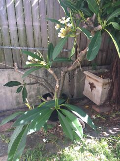 Frangipani for sale- flowering now