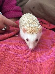 Hedgehog looking for forever home