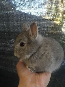 Purebred Netherland Dwarf Buck - baby boy Parkdale Kingston Area Preview