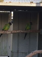 Nanday Conure pair Bethania Logan Area Preview