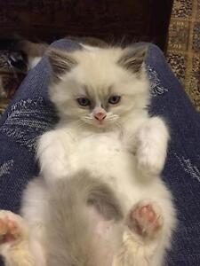 Ragdoll female kittens for sale Woodford Blue Mountains Preview