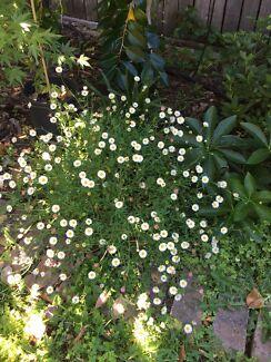 Small white daisy various pots