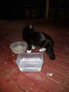 Kitten free - she needs help Roxburgh Park Hume Area Preview