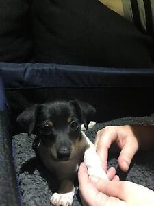 Mini foxie cross jack Russell puppy Bellbird Park Ipswich City Preview