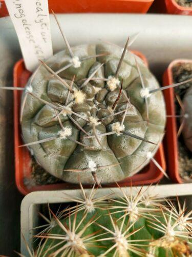 gymnocalycium borthii ssp. nogolense 20 SEEDS RARE  cactus cacti