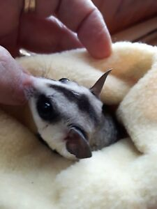 sugar glider (3 months female withoutcage 300)