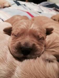 Purebred Golden Retriever Pups Singleton Singleton Area Preview