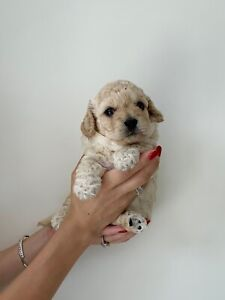Female Toy Cavoodle