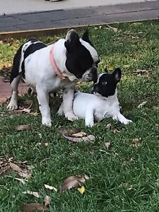 Gorgeous female pure bred French bulldog puppy