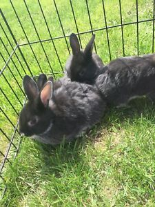 Baby Bunnies For Sale (GOING VERY FAST)- $20