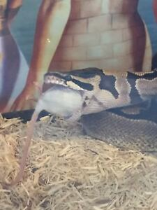 4 year old Ball Python