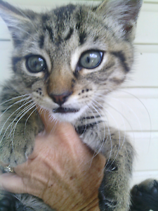 Very cute loving kittens Stannum Tenterfield Area Preview