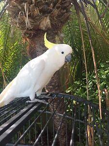 Sulphur crested cockatoo Marangaroo Wanneroo Area Preview