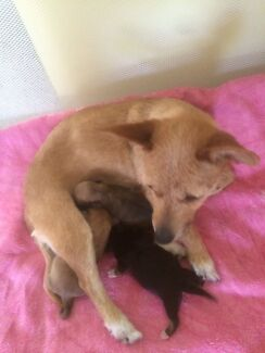 chihuahua x foxy x Jack Russell puppies 2 female 1 Male Goodna Ipswich City Preview