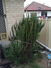 Rosemary plant Waratah Newcastle Area Preview