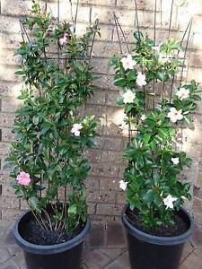 2 pots x Mandevilla plants with flowers *Healthy* Shelley Canning Area Preview