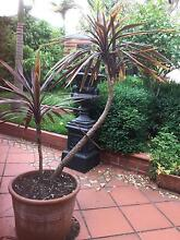 2 Red Star Cordylines in Large Terra Cotta Pots Ashburton Boroondara Area Preview