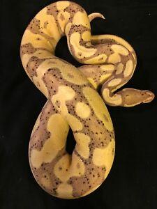 Male banana ball python