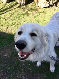 Great Pyrenees female