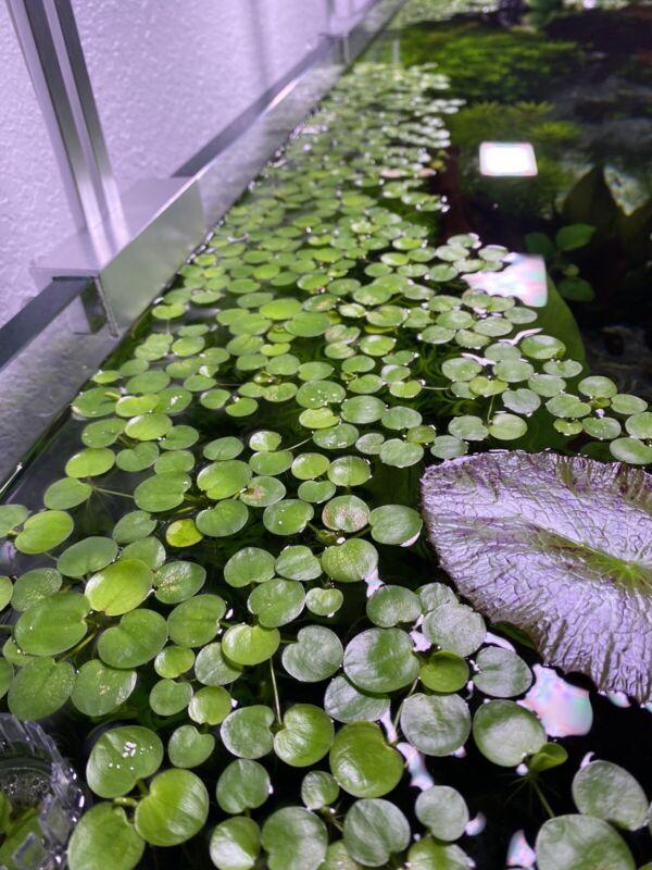 buy 2 get 1 free 15+ Leaf Amazon Frogbit Live Floating Plant