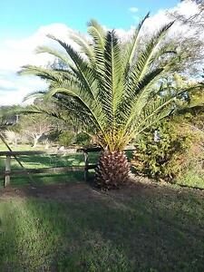 Canary iland date palms Murphys Creek Lockyer Valley Preview