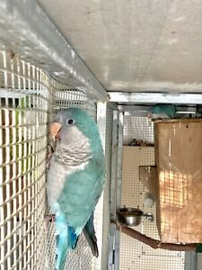 Bonded Pair Blue Quaker Parrots