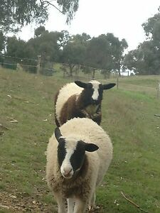 Cute sheep Whittlesea Area Preview