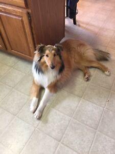 Wanted rough collie or golden retriever