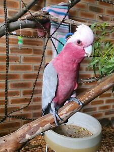 Hand raised Galah with cage