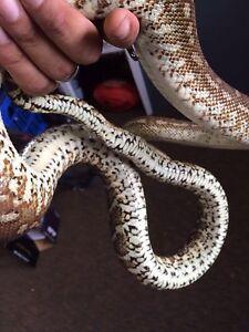 Python swap Pomona Noosa Area Preview