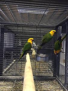 Jenday Conures Hoppers Crossing Wyndham Area Preview