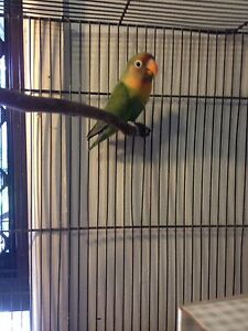 Lovebird For Sale Rochedale South Brisbane South East Preview