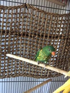 Scaley breasted lorikeets