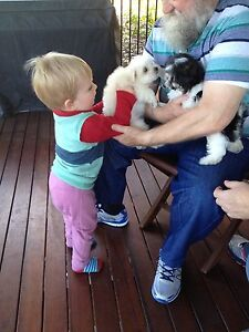 Maltese puppies Mansfield Brisbane South East Preview