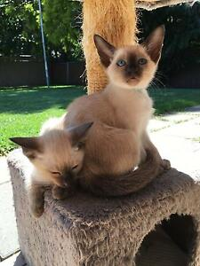 Purebred Siamese kittens for sale Brisbane City Brisbane North West Preview
