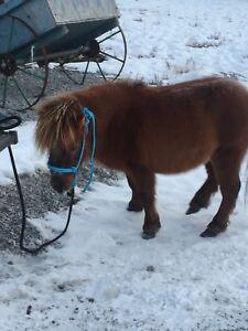 Male mini pony