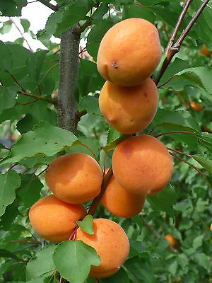 *Aprikose ANANAS Aprikosen Baum ca.200 cm., Marille