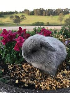 Pure Breed Mini Lops Grose Wold Hawkesbury Area Preview