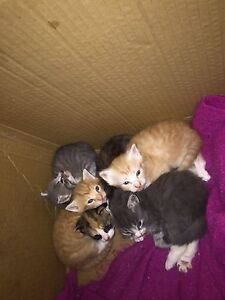 Kittens for sale $30 Weston Cessnock Area Preview